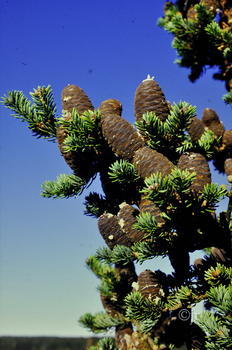 Abies balsamea ©jr
